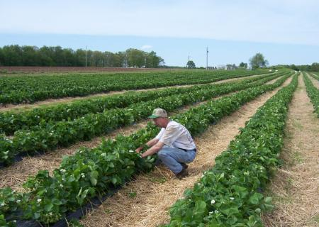 farmer looking at strawberry patch in farm field